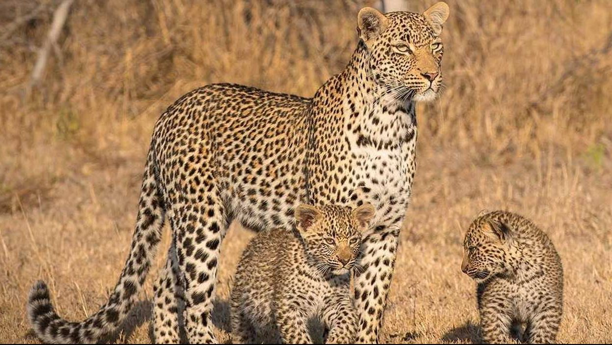 wildlife londolozi south africa
