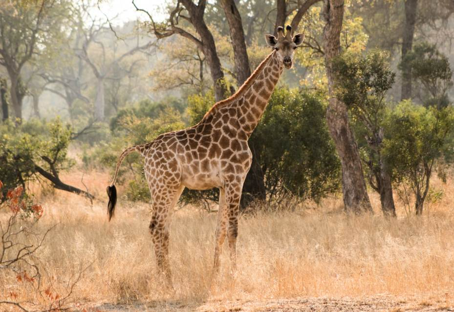 A giraffe spotted amidst the grass in Kruger National Park