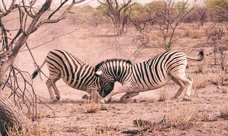 A pair of zebras tussling with each other in Etosha National Park, a rare sight for tourists on their Namibia safari adventure