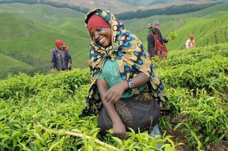 A Rwandan local happily working among the emerald green fields of the tea estate in Rwanda