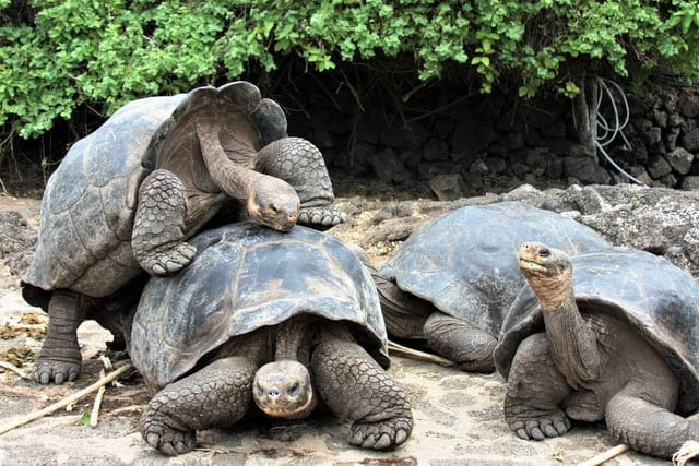 A family of Galapagos tortoises playfully clamber atop one another, a cute scene for those on a luxury holiday in the Galapagos Island
