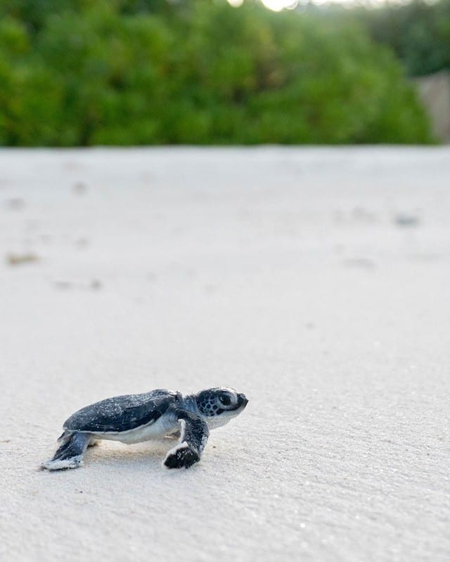 A baby green turtle makes it way across the white sandy beach of Maldives