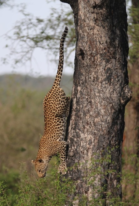 A leopard climbs down a tree in Kruger National Park in South Africa