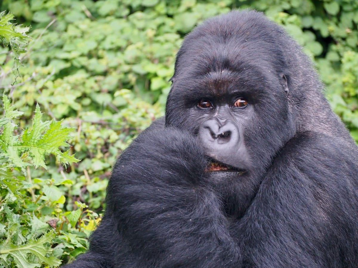 https://uluxeimages.uniqluxe.com/2020/11/rwanda-mountain-gorilla-luxury-travel.jpeg